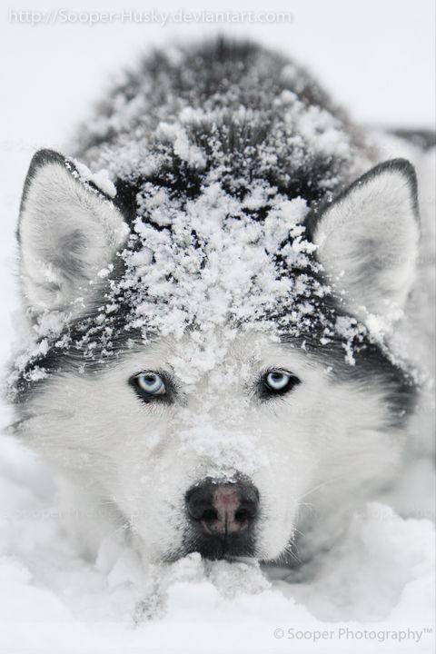 husky-lovely-maow-design-blog